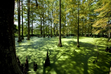 Cypress Swamp-Magnolia Plantation
